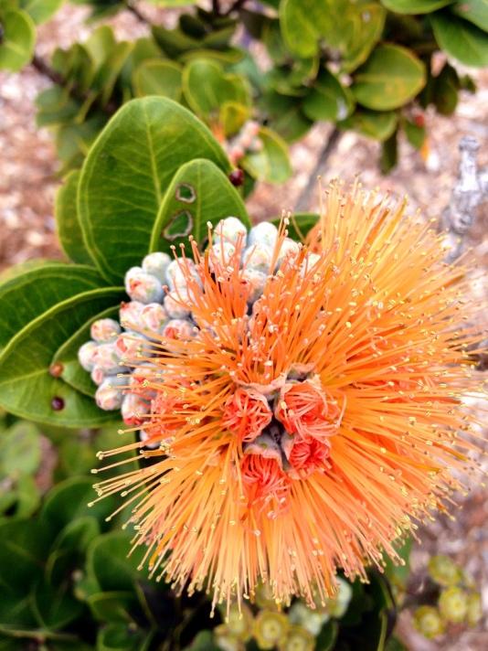 OrangeLehua